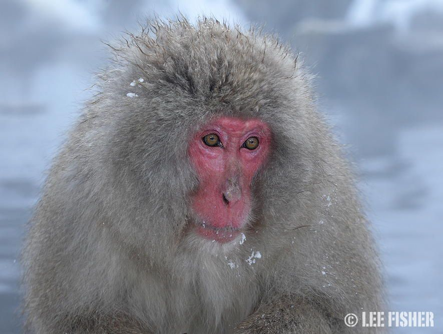 16. SNOW MACAQUE