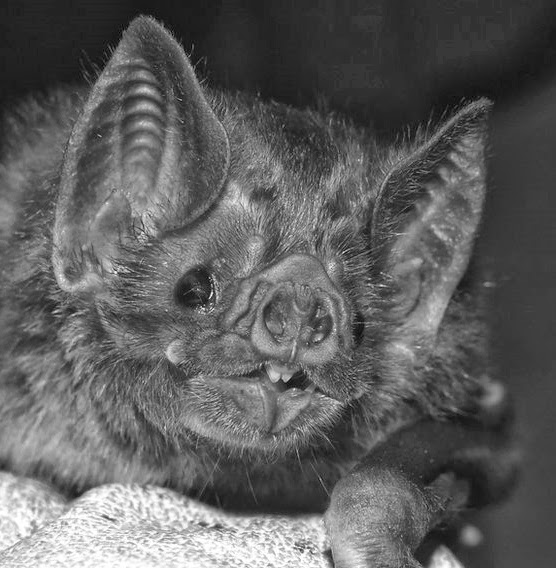 Strange Tales And Urban Myths Not So Blind As A Bat