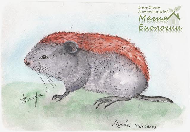 красно-серая-полевка-магия-биологии-акварель-арт-дневник-натуралиста