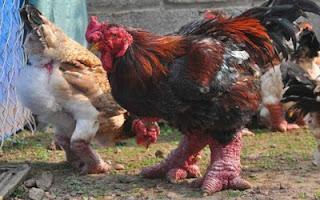 Ayam Dong Tao: Ayam Dengan Kaki Besar
