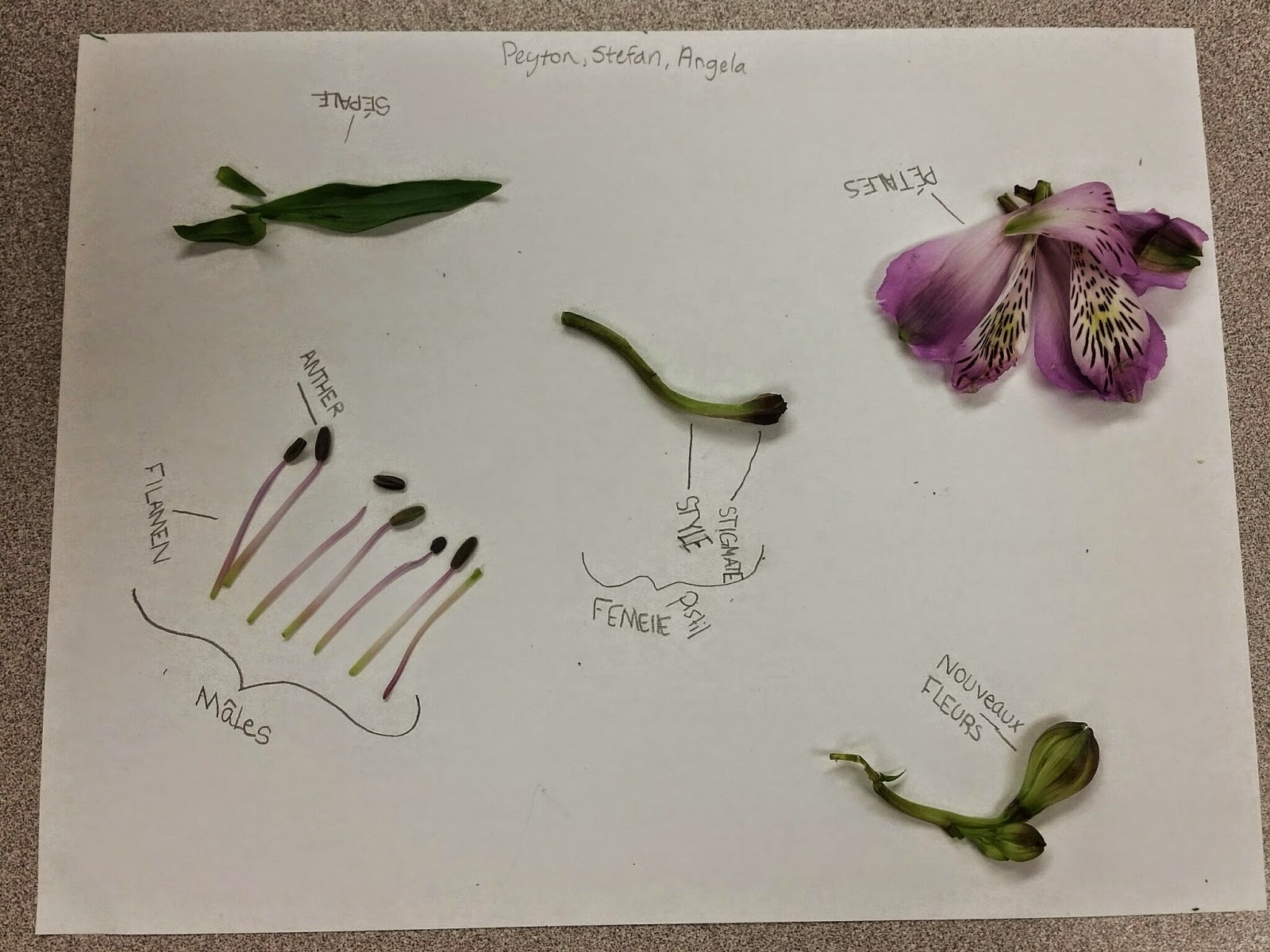 Freesia Flower Dissection Mme Green's Classroom: Dissection Des Fleurs