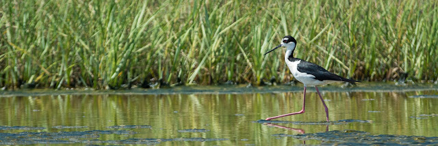 Black-necked Stilt, Pelican Island