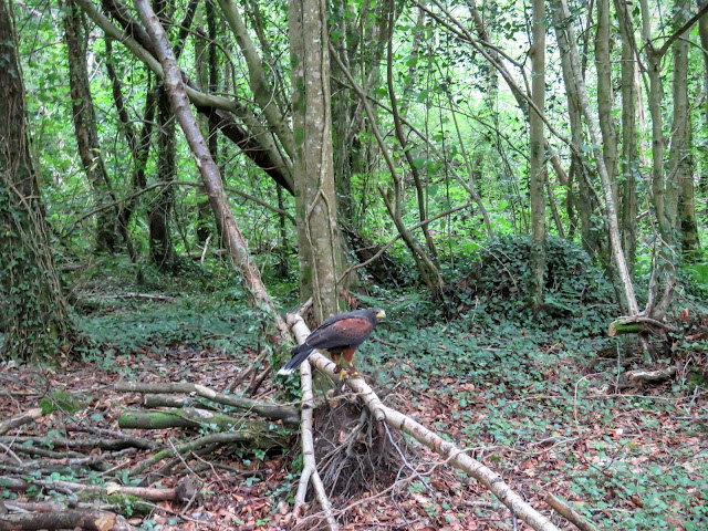 Harris Hawk at Mount Falcon estate in County Mayo, Ireland