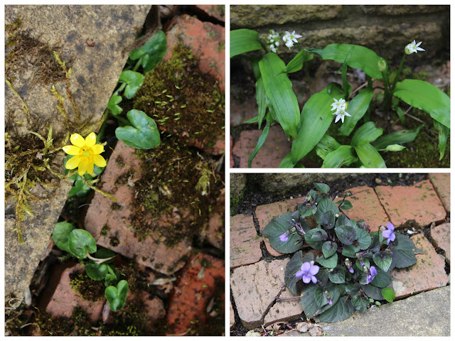 Self seeded lesser celandine, wild garlic and violets on my patio
