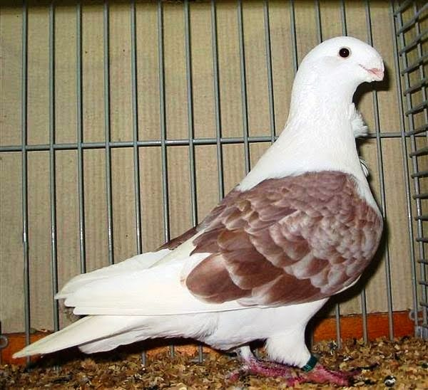 The Racing Pigeon HD wallpaper: Antwerp Smerle Pigeon Images and Details