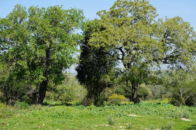 שדרת עצי אלון