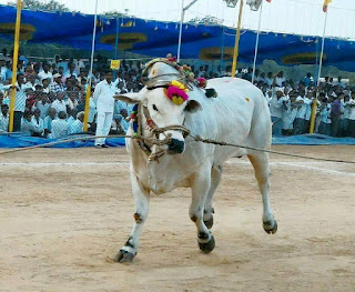 Ongole Bull new photo 2016