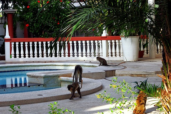 monkeys swimming pool