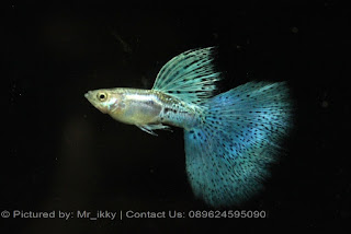 Jual Guppy Blue New York,  Harga Guppy Blue New York,  Toko Guppy Blue New York,  Diskon Guppy Blue New York,  Beli Guppy Blue New York,  Review Guppy Blue New York,  Promo Guppy Blue New York,  Spesifikasi Guppy Blue New York,  Guppy Blue New York Murah,  Guppy Blue New York Asli,  Guppy Blue New York Original,  Guppy Blue New York Jakarta,  Jenis Guppy Blue New York,  Budidaya Guppy Blue New York,  Peternak Guppy Blue New York,  Cara Merawat Guppy Blue New York,  Tips Merawat Guppy Blue New York,  Bagaimana cara merawat Guppy Blue New York,  Bagaimana mengobati Guppy Blue New York,  Ciri-Ciri Hamil Guppy Blue New York,  Kandang Guppy Blue New York,  Ternak Guppy Blue New York,  Makanan Guppy Blue New York,  Guppy Blue New York Termahal,  Adopsi Guppy Blue New York,  Jual Cepat Guppy Blue New York,  Guppy Blue New York  Jakarta,  Guppy Blue New York  Bandung,  Guppy Blue New York  Medan,  Guppy Blue New York  Bali,  Guppy Blue New York  Makassar,  Guppy Blue New York  Jambi,  Guppy Blue New York  Pekanbaru,  Guppy Blue New York  Palembang,  Guppy Blue New York  Sumatera,  Guppy Blue New York  Langsa,  Guppy Blue New York  Lhokseumawe,  Guppy Blue New York  Meulaboh,  Guppy Blue New York  Sabang,  Guppy Blue New York  Subulussalam,  Guppy Blue New York  Denpasar,  Guppy Blue New York  Pangkalpinang,  Guppy Blue New York  Cilegon,  Guppy Blue New York  Serang,  Guppy Blue New York  Tangerang Selatan,  Guppy Blue New York  Tangerang,  Guppy Blue New York  Bengkulu,  Guppy Blue New York  Gorontalo,  Guppy Blue New York  guppy,  Guppy Blue New York  tropical fish,  Guppy Blue New York  aquarium fish,  Guppy Blue New York  bubble guppies games,  Guppy Blue New York  guppy fish,  Guppy Blue New York  bubble guppies videos,  Guppy Blue New York  bubble guppies episodes,  Guppy Blue New York  bubble guppies full episodes,  Guppy Blue New York  super guppy,  Guppy Blue New York  bubble guppies cast,  Guppy Blue New York  aquarium online,  Guppy Blue New York  bubble guppies songs,  Guppy Blue New York  tetra aquarium,  Guppy Blue New York  guppies for sale,  Guppy Blue New York  pregnant guppy,  Guppy Blue New York  bubble guppies characters,  Guppy Blue New York  bubble guppy,  Guppy Blue New York  bubble guppies names,  Guppy Blue New York  guppies fish,  Guppy Blue New York  guppy breeding,  Guppy Blue New York  breeding guppies,  Guppy Blue New York  bubble guppie,  Guppy Blue New York  nick jr bubble guppies,  Guppy Blue New York  bubble guppies coloring pages,  Guppy Blue New York  bubble guppies video,  Guppy Blue New York  bubble guppy games,  Guppy Blue New York  guppy aquarium,  Guppy Blue New York  guppy care,  Guppy Blue New York  baby guppies,  Guppy Blue New York  design aquarium,  Guppy Blue New York  how to breed guppies,  Guppy Blue New York  endlers guppy,  Guppy Blue New York  bubble guppies wiki,  Guppy Blue New York  bubble guppies game,  Guppy Blue New York  guppies care,  Guppy Blue New York  guppy fry,  Guppy Blue New York  male guppies,  Guppy Blue New York  buble guppies,  Guppy Blue New York  guppy fish care,  Guppy Blue New York  female guppies,  Guppy Blue New York  female guppy,  Guppy Blue New York  guppy tank,  Guppy Blue New York  types of guppies,  Guppy Blue New York  online aquarium,  Guppy Blue New York  guppies aquarium,  Guppy Blue New York  pregnant guppies,  Guppy Blue New York  guppy giving birth,  Guppy Blue New York  what do guppies eat,  Guppy Blue New York  guppy life span,  Guppy Blue New York  guppy pond,  Guppy Blue New York  guppy grass,  Guppy Blue New York  guppies breeding,  Guppy Blue New York  aquarium guppy,  Guppy Blue New York  guppies giving birth,  Guppy Blue New York  bubble guppies pictures,  Guppy Blue New York  bubble guppies show,  Guppy Blue New York  male guppy,  Guppy Blue New York  guppy fish for sale,  Guppy Blue New York  pregnant guppy fish,  Guppy Blue New York  endler guppies,  Guppy Blue New York  guppy babies,  Guppy Blue New York  the bubble guppies,  Guppy Blue New York  bubble guppies images,  Guppy Blue New York  bubble guppies bubble puppy,  Guppy Blue New York  guppy food,  Guppy Blue New York  ferplast aquarium,  Guppy Blue New York  guppy temperature,  Guppy Blue New York  the binding isaac,  Guppy Blue New York  guppy tail,  Guppy Blue New York  the rebirth of isaac,  Guppy Blue New York  the binding of isaac rebirth guppy,  Guppy Blue New York  isaac the game,  Guppy Blue New York  guppie fish,  Guppy Blue New York  guppy fish breeding,  Guppy Blue New York  guppy for sale,  Guppy Blue New York  guppy tank mates,  Guppy Blue New York  aquarium shop online,  Guppy Blue New York  guppy gestation,  Guppy Blue New York  the binding of isaac guppy,  Guppy Blue New York  keeping guppies,  Guppy Blue New York  guppy definition,  Guppy Blue New York  guppy meaning,  Guppy Blue New York  guppy breathing,  Guppy Blue New York  fish tropical,  Guppy Blue New York  endlers guppies,  Guppy Blue New York  baby guppy,  Guppy Blue New York  nickelodeon bubble guppies,  Guppy Blue New York  guppy fish tank,  Guppy Blue New York  guppy types,  Guppy Blue New York  guppy fish types,  Guppy Blue New York  guppy diseases,  Guppy Blue New York  the binding of isaac 2,  Guppy Blue New York  isaac the binding,  Guppy Blue New York  wild guppies,  Guppy Blue New York  wild guppy,  Guppy Blue New York  fantail guppies,  Guppy Blue New York  guppy pregnancy,  Guppy Blue New York  lyretail guppy,  Guppy Blue New York  pregnant guppy stages,  Guppy Blue New York  guppy pregnant,  Guppy Blue New York  male and female guppies,  Guppy Blue New York  bubble guppys,  Guppy Blue New York  guppy birth,  Guppy Blue New York  do guppies need a heater,  Guppy Blue New York  pictures of guppies,  Guppy Blue New York  guppy fish life span,  Guppy Blue New York  guppy water temperature,  Guppy Blue New York  show guppies,  Guppy Blue New York  black guppy,  Guppy Blue New York  red guppy,  Guppy Blue New York  binding isaac wiki,  Guppy Blue New York  binding of isaac 2,  Guppy Blue New York  moscow guppy,  Guppy Blue New York  guppy forum,  Guppy Blue New York  guppies online,  Guppy Blue New York  fantail guppy,  Guppy Blue New York  yellow guppy,  Guppy Blue New York  snakeskin guppy,  Guppy Blue New York  guppy fry growth chart,  Guppy Blue New York  guppy fish food,  Guppy Blue New York  temperature for guppies,  Guppy Blue New York  water temperature for guppies,  Guppy Blue New York  guppy games,  Guppy Blue New York  black moscow guppy,  Guppy Blue New York  full red guppy,  Guppy Blue New York  blue moscow guppy,  Guppy Blue New York  game isaac,  Guppy Blue New York  male guppy fish,  Guppy Blue New York  guppy varieties,  Guppy Blue New York  albino guppy,  Guppy Blue New York  guppy pregnancy stages,  Guppy Blue New York  tequila sunrise guppy,  Guppy Blue New York  guppy fin rot,  Guppy Blue New York  guppy genetics,  Guppy Blue New York  pink guppy,  Guppy Blue New York  the guppy,  Guppy Blue New York  highland guppy,  Guppy Blue New York  guppy breeding tank,  Guppy Blue New York  guppy breeds,  Guppy Blue New York  show guppies for sale,  Guppy Blue New York  guppies for sale uk,  Guppy Blue New York  is my guppy pregnant,  Guppy Blue New York  guppies having babies,  Guppy Blue New York  guppy female,  Guppy Blue New York  guppy fry care,  Guppy Blue New York  do guppies need a filter,  Guppy Blue New York  do guppies eat their babies,  Guppy Blue New York  do guppies sleep,  Guppy Blue New York  aquarium 40 liter,  Guppy Blue New York  guppy game,  Guppy Blue New York  neon guppies,  Guppy Blue New York  neon guppy,  Guppy Blue New York  guppy neon,  Guppy Blue New York  isaac of binding,  Guppy Blue New York  moscow blue guppy,  Guppy Blue New York  guppy tail rot,  Guppy Blue New York  isaac the rebirth,  Guppy Blue New York  fish guppies,  Guppy Blue New York  guppies dying,  Guppy Blue New York  guppy species,  Guppy Blue New York  guppy gravid spot,  Guppy Blue New York  the of isaac,  Guppy Blue New York  breeding guppies for beginners,  Guppy Blue New York  guppy breeding cycle,  Guppy Blue New York  female guppies for sale,  Guppy Blue New York  guppies pregnant,  Guppy Blue New York  pregnant female guppy,  Guppy Blue New York  caring for guppies,  Guppy Blue New York  guppies babies,  Guppy Blue New York  guppy fry growth,  Guppy Blue New York  guppy tank setup,  Guppy Blue New York  guppy fish giving birth,  Guppy Blue New York  guppy fry food,  Guppy Blue New York  different types of guppies,  Guppy Blue New York  types of guppy,  Guppy Blue New York  guppy pictures,  Guppy Blue New York  aquarium voor beginners,  Guppy Blue New York  guppy life cycle,  Guppy Blue New York  guppies temperature,  Guppy Blue New York  guppy gestation period,  Guppy Blue New York  the binding of the isaac,  Guppy Blue New York  feeding guppies,  Guppy Blue New York  guppi fish,  Guppy Blue New York  guppy fish facts,  Guppy Blue New York  guppy breeders,  Guppy Blue New York  guppy wiki,  Guppy Blue New York  freshwater guppies,  Guppy Blue New York  rare guppies,  Guppy Blue New York  raising guppies,  Guppy Blue New York  guppy colors,  Guppy Blue New York  guppy strains,  Guppy Blue New York  guppy size,  Guppy Blue New York  turquoise guppy,  Guppy Blue New York  leopard guppy,  Guppy Blue New York  guppy love,  Guppy Blue New York  guppy images,  Guppy Blue New York  guppy plant,  Guppy Blue New York  water temp for guppies,  Guppy Blue New York  guppy breeding setup,  Guppy Blue New York  guppies for sale online,  Guppy Blue New York  guppys aquarium,  Guppy Blue New York  guppy fish pregnant,  Guppy Blue New York  guppy care sheet,  Guppy Blue New York  endler guppy hybrid,  Guppy Blue New York  baby guppy fish,  Guppy Blue New York  female guppy fish,  Guppy Blue New York  bubble guppies nickelodeon,  Guppy Blue New York  guppy tanks,  Guppy Blue New York  guppies food,  Guppy Blue New York  best food for guppies,  Guppy Blue New York  tropical guppies,  Guppy Blue New York  black guppy fish,  Guppy Blue New York  black moscow guppies,  Guppy Blue New York  gestation period for guppies,  Guppy Blue New York  blue neon guppy,  Guppy Blue New York  red mosaic guppy,  Guppy Blue New York  betta and guppies,  Guppy Blue New York  guppy fishes,  Guppy Blue New York  fish compatible with guppies,  Guppy Blue New York  what is a guppy fish,  Guppy Blue New York  guppy s,  Guppy Blue New York  guppy guppy,  Guppy Blue New York  guppy facts,  Guppy Blue New York  guppy behavior,  Guppy Blue New York  green guppy,  Guppy Blue New York  white guppy,  Guppy Blue New York  guppy dropsy,  Guppy Blue New York  purple guppy,  Guppy Blue New York  bloated guppy,  Guppy Blue New York  angelfish and guppies,  Guppy Blue New York  fin rot guppy,  Guppy Blue New York  guppies keep dying,  Guppy Blue New York  mollies and guppies,  Guppy Blue New York  stages of guppy pregnancy,  Guppy Blue New York  south african guppies,  Guppy Blue New York  mosaic guppy,  Guppy Blue New York  guppy cartoon,  Guppy Blue New York  breeding guppy,  Guppy Blue New York  aquarium guppies,  Guppy Blue New York  pregnant guppie,  Guppy Blue New York  female guppy pregnant,  Guppy Blue New York  guppy tank size,  Guppy Blue New York  guppies tank mates,  Guppy Blue New York  do guppies give live birth,  Guppy Blue New York  buy guppies,  Guppy Blue New York  food for guppies,  Guppy Blue New York  types of guppy fish,  Guppy Blue New York  guppy disease,  Guppy Blue New York  tropical fish guppies,  Guppy Blue New York  black guppies,  Guppy Blue New York  guppy black,  Guppy Blue New York  red guppies,  Guppy Blue New York  red guppy fish,  Guppy Blue New York  moscow guppies,  Guppy Blue New York  guppies and bettas,  Guppy Blue New York  guppy fish information,  Guppy Blue New York  guppy fish images,  Guppy Blue New York  all about guppies,  Guppy Blue New York  guppy breeder,  Guppy Blue New York  guppys online,  Guppy Blue New York  guppy poecilia reticulata,  Guppy Blue New York  guppy a,  Guppy Blue New York  purple guppies,  Guppy Blue New York  beautiful guppies,  Guppy Blue New York  guppy pdf,  Guppy Blue New York  guppy swimming vertically,  Guppy Blue New York  guppy names,  Guppy Blue New York  yellow guppies,  Guppy Blue New York  male guppies fighting,  Guppy Blue New York  guppies and tetras,  Guppy Blue New York  saltwater guppies,  Guppy Blue New York  guppies and mollies,  Guppy Blue New York  the guppies,  Guppy Blue New York  breeding guppies in community tank,  Guppy Blue New York  breed guppies,  Guppy Blue New York  live guppies for sale,  Guppy Blue New York  guppies fish for sale,  Guppy Blue New York  breeding guppies for profit,  Guppy Blue New York  guppies aquarium products,  Guppy Blue New York  taking care of guppies,  Guppy Blue New York  guppies fish care,  Guppy Blue New York  john endler guppies,  Guppy Blue New York  guppy fish babies,  Guppy Blue New York  male and female guppy,  Guppy Blue New York  guppy fry development,  Guppy Blue New York  guppy fry stages,  Guppy Blue New York  guppies fish tank,  Guppy Blue New York  guppies tank,  Guppy Blue New York  guppy fry tank,  Guppy Blue New York  female guppy giving birth,  Guppy Blue New York  pregnant guppy giving birth,  Guppy Blue New York  guppies birth,  Guppy Blue New York  guppy give birth,  Guppy Blue New York  guppies types,  Guppy Blue New York  how much do guppies cost,  Guppy Blue New York  do guppies eat algae,  Guppy Blue New York  guppy diseases pictures,  Guppy Blue New York  pregnant guppy pictures,  Guppy Blue New York  pictures of guppy fish,  Guppy Blue New York  guppy fish diseases,  Guppy Blue New York  show guppy,  Guppy Blue New York  guppy tropical fish,  Guppy Blue New York  guppies tropical fish,  Guppy Blue New York  half black guppy,  Guppy Blue New York  neon blue guppy,  Guppy Blue New York  guppies and neon tetras,  Guppy Blue New York  binding of the isaac,  Guppy Blue New York  moscow blue guppies,  Guppy Blue New York  of isaac game,  Guppy Blue New York  feeding guppy fry,  Guppy Blue New York  game the binding of isaac,  Guppy Blue New York  the binding of isaac the game,  Guppy Blue New York  blue guppy fish,  Guppy Blue New York  fish that can live with guppies,  Guppy Blue New York  images of guppy fish,  Guppy Blue New York  guppy online,  Guppy Blue New York  albino guppies,  Guppy Blue New York  pics of guppies,  Guppy Blue New York  my guppies keep dying,  Guppy Blue New York  guppy colours,  Guppy Blue New York  guppy growth chart,  Guppy Blue New York  golden guppy,  Guppy Blue New York  colorful guppies,  Guppy Blue New York  columnaris guppy,  Guppy Blue New York  guppy diet,  Guppy Blue New York  dragon guppy,  Guppy Blue New York  atfg guppy,  Guppy Blue New York  blue diamond guppy,  Guppy Blue New York  gold guppy,  Guppy Blue New York  guppy scientific name,  Guppy Blue New York  guppies fighting,  Guppy Blue New York  pingu guppy,  Guppy Blue New York  trinidadian guppies,  Guppy Blue New York  dropsy guppy,  Guppy Blue New York  fat guppy,  Guppy Blue New York  guppy guppies,  Guppy Blue New York  guppy singapore,  Guppy Blue New York  sunset guppy,  Guppy Blue New York  guppy natural habitat,  Guppy Blue New York  guppies breeding cycle,  Guppy Blue New York  breeding tank for guppies,  Guppy Blue New York  guppy breeding guide,  Guppy Blue New York  guppies fish breeding,  Guppy Blue New York  guppy breeding trap,  Guppy Blue New York  guppy breeding tank setup,  Guppy Blue New York  guppy sale,  Guppy Blue New York  rare guppies for sale,  Guppy Blue New York  endler guppies for sale,  Guppy Blue New York  aquarium de guppy,  Guppy Blue New York  pregnant guppy behavior,  Guppy Blue New York  guppie care,  Guppy Blue New York  guppy care guide,  Guppy Blue New York  baby guppy care,  Guppy Blue New York  guppy having babies,  Guppy Blue New York  guppies male or female,  Guppy Blue New York  guppies female,  Guppy Blue New York  guppy fish female,  Guppy Blue New York  guppies fry,  Guppy Blue New York  raising guppy fry,  Guppy Blue New York  guppy birth signs,  Guppy Blue New York  guppies live birth,  Guppy Blue New York  guppy fish pictures,  Guppy Blue New York  guppies pictures,  Guppy Blue New York  female guppy pictures,  Guppy Blue New York  life cycle of a guppy,  Guppy Blue New York  guppies water temperature,  Guppy Blue New York  tropical fish guppy,  Guppy Blue New York  tropical guppy,  Guppy Blue New York  moscow black guppy,  Guppy Blue New York  neon tetras and guppies,  Guppy Blue New York  guppy tails,  Guppy Blue New York  guppy feeding,  Guppy Blue New York  bettas and guppies,  Guppy Blue New York  guppies and betta,  Guppy Blue New York  can guppies live with bettas,  Guppy Blue New York  guppy fish price,  Guppy Blue New York  guppy fish varieties,  Guppy Blue New York  wild guppy fish,  Guppy Blue New York  guppys fish,  Guppy Blue New York  guppies information,  Guppy Blue New York  free guppies,  Guppy Blue New York  blue glass guppy,  Guppy Blue New York  guppy d,  Guppy Blue New York  pink guppies,  Guppy Blue New York  guppy behaviour,  Guppy Blue New York  common guppy,  Guppy Blue New York  ribbon guppy,  Guppy Blue New York  kinds of guppies,  Guppy Blue New York  gonopodium guppy,  Guppy Blue New York  rare guppy,  Guppy Blue New York  guppy compatibility,  Guppy Blue New York  pretty guppies,  Guppy Blue New York  snakeskin guppies,  Guppy Blue New York  guppy anatomy,  Guppy Blue New York  green guppies,  Guppy Blue New York  guppies in the wild,  Guppy Blue New York  guppy growth,  Guppy Blue New York  guppy water temp,  Guppy Blue New York  guppy swim bladder,  Guppy Blue New York  german yellow guppy,  Guppy Blue New York  guppy videos,  Guppy Blue New York  cartoon guppy,  Guppy Blue New York  guppy not eating,  Guppy Blue New York  exotic guppy,  Guppy Blue New York  breeding guppys,  Guppy Blue New York  breeding guppy fish,  Guppy Blue New York  guppies for sale cheap,  Guppy Blue New York  guppy breed,  Guppy Blue New York  cheap guppies for sale,  Guppy Blue New York  wild guppies for sale,  Guppy Blue New York  guppys for sale,  Guppy Blue New York  baby guppies for sale,  Guppy Blue New York  guppy fry for sale,  Guppy Blue New York  guppy fish aquarium,  Guppy Blue New York  aquarium fish guppy,  Guppy Blue New York  care for guppies,  Guppy Blue New York  bubble guppies nick,  Guppy Blue New York  nick bubble guppies,  Guppy Blue New York  guppie fry,  Guppy Blue New York  caring for guppy fry,  Guppy Blue New York  guppy fish tanks,  Guppy Blue New York  female guppies giving birth,  Guppy Blue New York  where to buy guppies,  Guppy Blue New York  fish food for guppies,  Guppy Blue New York  pictures of pregnant guppies,  Guppy Blue New York  albino red guppy,  Guppy Blue New York  moscow green guppy,  Guppy Blue New York  purple moscow guppies,  Guppy Blue New York  isaac of rebirth,  Guppy Blue New York  feeding baby guppies,  Guppy Blue New York  guppy photo,  Guppy Blue New York  game binding of isaac,  Guppy Blue New York  a guppy fish,  Guppy Blue New York  compatible fish with guppies,  Guppy Blue New York  live guppies,  Guppy Blue New York  poecilia reticulata guppy,  Guppy Blue New York  exotic guppies,  Guppy Blue New York  guppy price,  Guppy Blue New York  guppy video,  Guppy Blue New York  guppy wallpaper,  Guppy Blue New York  white guppies,  Guppy Blue New York  lyretail guppies,  Guppy Blue New York  small guppies,  Guppy Blue New York  guppy mouth,  Guppy Blue New York  blonde guppy,  Guppy Blue New York  peacock guppy,  Guppy Blue New York  looking after guppies,  Guppy Blue New York  guppy bent spine,  Guppy Blue New York  plants for guppies,  Guppy Blue New York  guppy predators,  Guppy Blue New York  beautiful guppy,  Guppy Blue New York  guppy eyes,  Guppy Blue New York  guppy gonopodium,  Guppy Blue New York  singapore guppy,  Guppy Blue New York  dropsy in guppies,  Guppy Blue New York  guppy fungus,  Guppy Blue New York  gubbi fish,  Guppy Blue New York  selective breeding guppies,  Guppy Blue New York  breeding mollies and guppies,  Guppy Blue New York  breeds of guppies,  Guppy Blue New York  guppies sale,  Guppy Blue New York  guppy breeding net,  Guppy Blue New York  rare guppy breeds,  Guppy Blue New York  guppie breeding,  Guppy Blue New York  albino guppies for sale,  Guppy Blue New York  blue guppies for sale,  Guppy Blue New York  pregnant guppies for sale,  Guppy Blue New York  guppy aquariums,  Guppy Blue New York  aquarium a guppy,  Guppy Blue New York  care of guppies,  Guppy Blue New York  baby guppies care,  Guppy Blue New York  guppy baby fish,  Guppy Blue New York  guppy male female,  Guppy Blue New York  male female guppies,  Guppy Blue New York  bubble guppies on nick jr,  Guppy Blue New York  guppy breeder tank,  Guppy Blue New York  buy guppy fish,  Guppy Blue New York  baby guppy food,  Guppy Blue New York  type of guppies,  Guppy Blue New York  do guppies need air pump,  Guppy Blue New York  pictures of guppies fish,  Guppy Blue New York  picture of guppies,  Guppy Blue New York  female guppies pictures,  Guppy Blue New York  guppy picture,  Guppy Blue New York  guppies life span,  Guppy Blue New York  life span of guppies,  Guppy Blue New York  guppy life expectancy,  Guppy Blue New York  show quality guppies,  Guppy Blue New York  breeding show guppies,  Guppy Blue New York  tropical guppy fish,  Guppy Blue New York  guppy fish game,  Guppy Blue New York  guppies gestation period,  Guppy Blue New York  guppies gestation,  Guppy Blue New York  fan tail guppies,  Guppy Blue New York  fan tailed guppies,  Guppy Blue New York  dragon tail guppy,  Guppy Blue New York  the rebirth of isaac game,  Guppy Blue New York  the isaac game,  Guppy Blue New York  guppies feeding,  Guppy Blue New York  guppy photos,  Guppy Blue New York  about guppy fish,  Guppy Blue New York  yellow guppy fish,  Guppy Blue New York  guppy fish bowl,  Guppy Blue New York  selling guppies,  Guppy Blue New York  guppy pics,  Guppy Blue New York  about guppies,  Guppy Blue New York  ifga guppies,  Guppy Blue New York  taiwan guppy,  Guppy Blue New York  guppies price,  Guppy Blue New York  different kinds of guppies,  Guppy Blue New York  guppy blog,  Guppy Blue New York  guppy plants,  Guppy Blue New York  guppy green,  Guppy Blue New York  tankmates for guppies,  Guppy Blue New York  freshwater guppy,  Guppy Blue New York  tequila sunrise guppies,  Guppy Blue New York  endless guppy,  Guppy Blue New York  platies and guppies,  Guppy Blue New York  guppy parasites,  Guppy Blue New York  guppy pet,  Guppy Blue New York  guppy illness,  Guppy Blue New York  pet guppies,  Guppy Blue New York  guppy white,  Guppy Blue New York  guppies species,  Guppy Blue New York  hybrid guppies,  Guppy Blue New York  breeding tanks for guppies,  Guppy Blue New York  guppy breeding tanks,  Guppy Blue New York  guppy care and breeding,  Guppy Blue New York  breeding guppies for feeders,  Guppy Blue New York  guppy fish sale,  Guppy Blue New York  breeding guppies for sale,  Guppy Blue New York  guppy aquarium fish,  Guppy Blue New York  aquarium guppy fish,  Guppy Blue New York  guppies aquariums,  Guppy Blue New York  pregnant guppys,  Guppy Blue New York  pregnant female guppies,  Guppy Blue New York  raising baby guppies,  Guppy Blue New York  guppy fry color,  Guppy Blue New York  guppy fry size,  Guppy Blue New York  guppy birthing process,  Guppy Blue New York  buying guppies,  Guppy Blue New York  buy guppy fish online,  Guppy Blue New York  buy guppy,  Guppy Blue New York  homemade guppy food,  Guppy Blue New York  pictures of female guppies,  Guppy Blue New York  pictures of baby guppies,  Guppy Blue New York  guppies diseases,  Guppy Blue New York  guppy diseases symptoms,  Guppy Blue New York  life cycle of guppies,  Guppy Blue New York  guppy shows,  Guppy Blue New York  show guppy breeders,  Guppy Blue New York  is a guppy a tropical fish,  Guppy Blue New York  binding the isaac,  Guppy Blue New York  the of isaac game,  Guppy Blue New York  the game isaac,  Guppy Blue New York  guppy fish photos,  Guppy Blue New York  photos of guppies,  Guppy Blue New York  binding isaac game,  Guppy Blue New York  binding game,  Guppy Blue New York  guppies fishing report,  Guppy Blue New York  all about guppy fish,  Guppy Blue New York  the guppy fish,  Guppy Blue New York  how much are guppy fish,  Guppy Blue New York  is a guppy a fish,  Guppy Blue New York  guppy fish wiki,  Guppy Blue New York  guppies fish bowl,  Guppy Blue New York  cheap guppies,  Guppy Blue New York  fresh water guppies,  Guppy Blue New York  how to sell guppies,  Guppy Blue New York  pond guppies,  Guppy Blue New York  information about guppies,  Guppy Blue New York  guppy illnesses,  Guppy Blue New York  guppy hatchery,  Guppy Blue New York  guppy store,  Guppy Blue New York  guppies fin rot,  Guppy Blue New York  common guppies,  Guppy Blue New York  guppy prices,  Guppy Blue New York  guppy mouth fungus,  Guppy Blue New York  singapore guppies,  Guppy Blue New York  guppy book,  Guppy Blue New York  large guppy,  Guppy Blue New York  breading guppies,  Guppy Blue New York  malaysia guppy,  Guppy Blue New York  aggressive guppies,  Guppy Blue New York  guppies diet,  Guppy Blue New York  my guppy,  Guppy Blue New York  robert john lechmere guppy,  Guppy Blue New York  guppy breading,  Guppy Blue New York  guppy forums,  Guppy Blue New York  guppies pics,  Guppy Blue New York  guppy fin rot treatment,  Guppy Blue New York  the re-birth,  Guppy Blue New York  the binding rebirth,  Guppy Blue New York  guppies aquarium supplies,  Guppy Blue New York  aquarium mit guppys,  Guppy Blue New York  guppys im aquarium,  Guppy Blue New York  fry guppy,  Guppy Blue New York  where can i buy guppies,  Guppy Blue New York  breeding guppies for food,  Guppy Blue New York  guppy fish picture,  Guppy Blue New York  binding of isaac original,  Guppy Blue New York  the isaac of binding,  Guppy Blue New York  rebirth of isaac game,  Guppy Blue New York  game of isaac,  Guppy Blue New York  guppies photos,  Guppy Blue New York  guppy fish breeders,  Guppy Blue New York  what is guppy fish,  Guppy Blue New York  guppy water conditions,  Guppy Blue New York  german guppies,  Guppy Blue New York  laser beam guppy,  Guppy Blue New York  the binding of rebirth,  Guppy Blue New York  the binding of isaac a,  Guppy Blue New York  guppy rebirth,