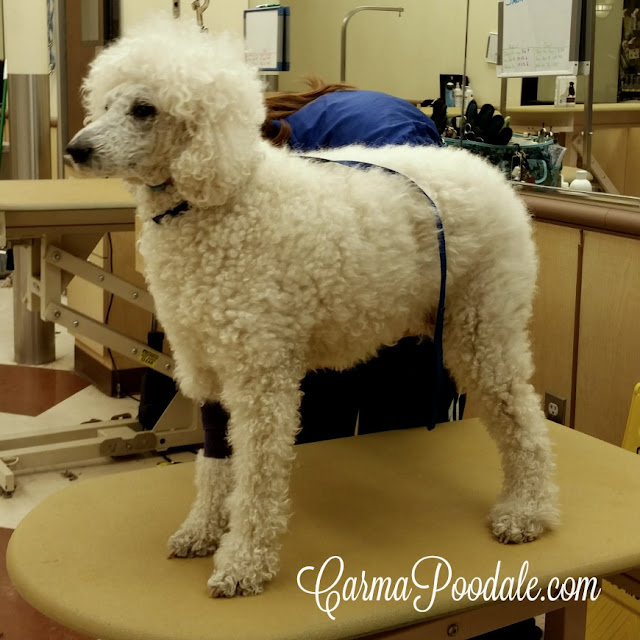 Face and Feet groom on Carma Poodale at PetSmart