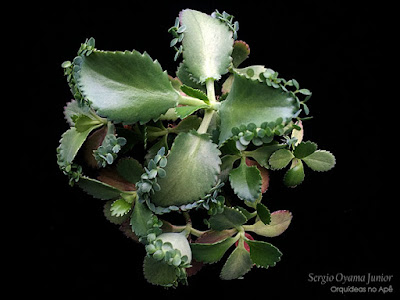 Suculenta Kalanchoe daigremontiana
