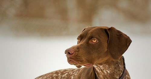 Size And Weight Of German Shorthaired Pointer Annie Many