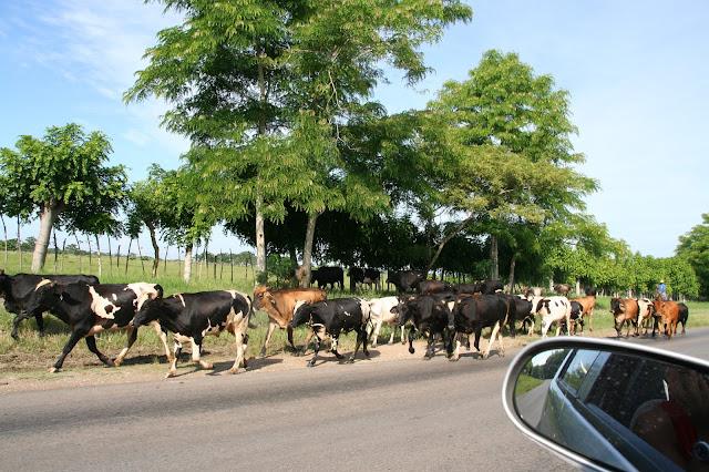 Mucche al pascolo sulla Caretera per Vinales