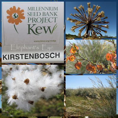 Kew's MSBP September 2011, Brunsvigia tumbleweed orange Eryhtrophysa alata kapok on wild rosemary