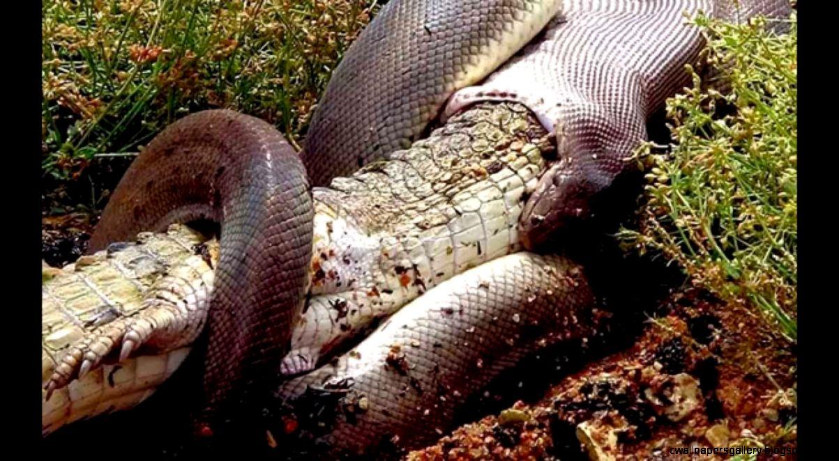Python Snake Eats Live Alligator  Amazing Extreme Odd