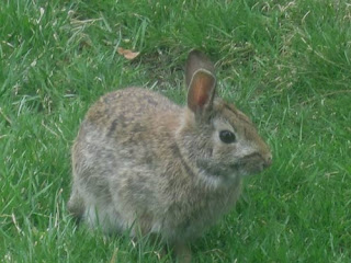 Backyard Bunny.
