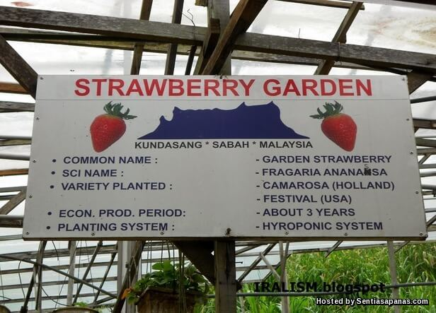 Strawberry Garden Kundasang