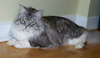 Maine Coon Head
