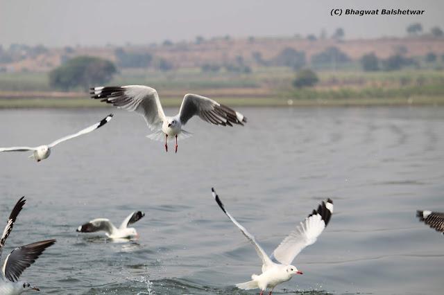 फोटो - भिगवण - पक्षी विहार