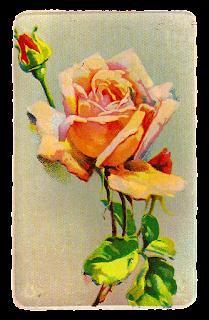 rose image flower illustration