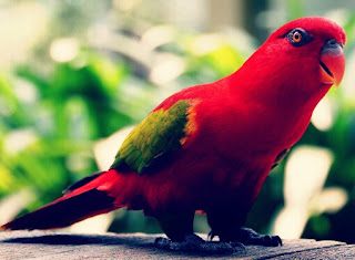 Red-lovebird atau Lovebird Merah