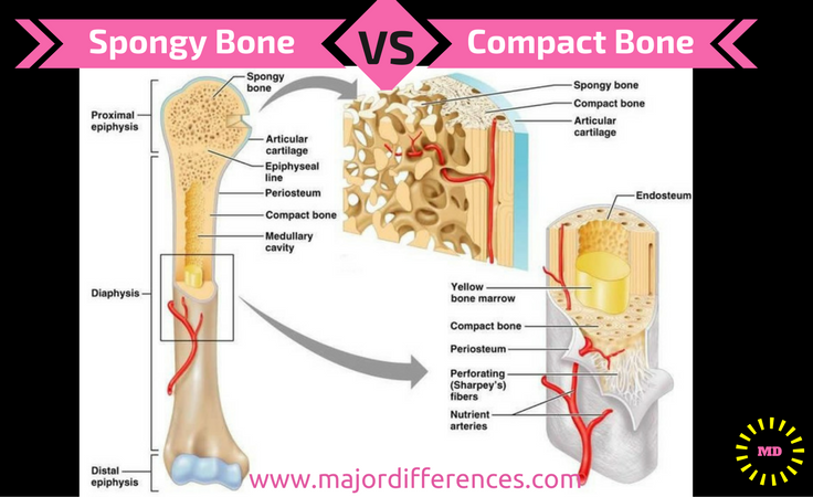 Compact bone vs Spongy bone