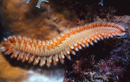 Pengertian Annelida