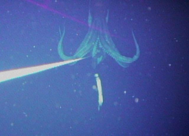 Giant squid photo