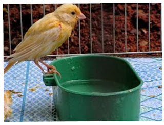 Burung mandi di keramba