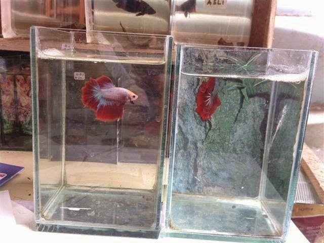 Harga Aquarium Ikan Cupang Mini Kecil Dan Botol Sekarang Ini