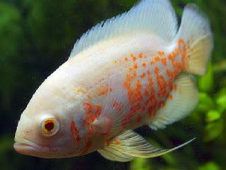 6 Makanan Ikan Oscar Supaya Cepat Besar Tips Ikan