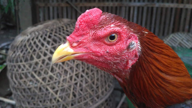 Cara Ampuh Mengobati Penyakit Jamur Kurap Pada Ayam Aduan.jpg