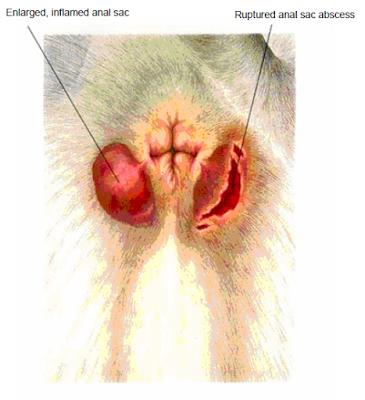 Teknik Operasi Abses pada Hewan (Bedah Integumen)