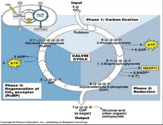 Reaksi Gelap Fotosintensis (Siklus Calvin)