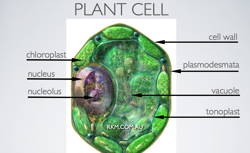 Labeled Plant Cell Diagram And Functions