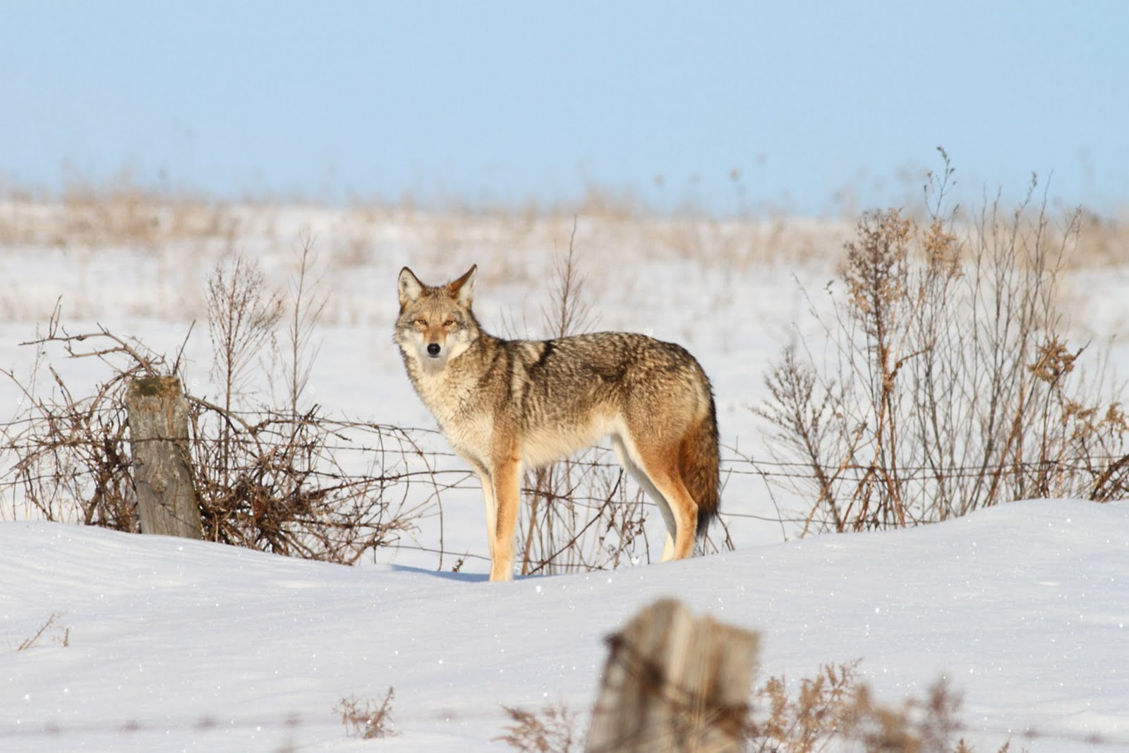 Remarkably, though not surprisingly, wildlife control agencies have ...