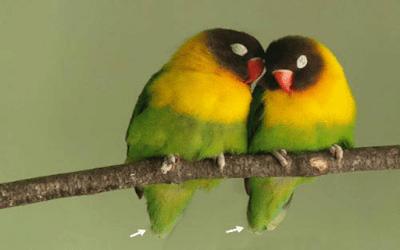 perbedaan lovebird jantan dan lovebird betina pada ekor
