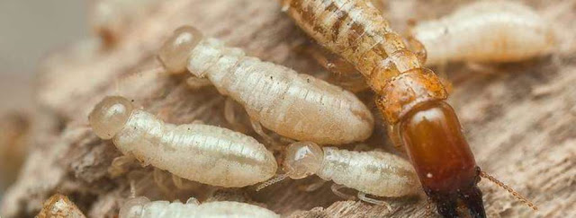 control plagas termitas castellón