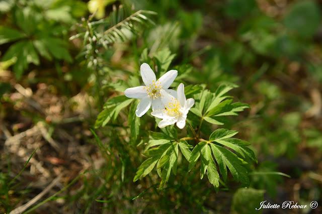 Fleur sauvage en Suisse