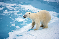 The polar bear is listed as threatened under the Endangered Species Act as climate change melts away its habitat. (Credit: Christopher Michel/flickr) Click to Enlarge.