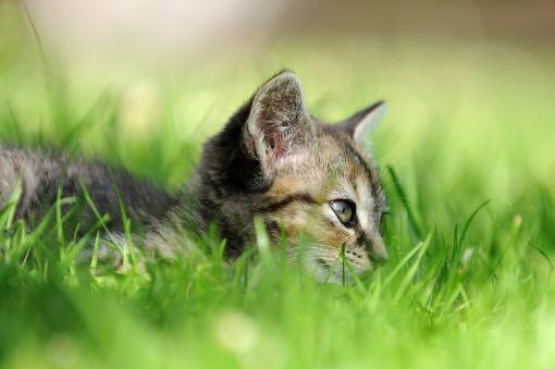 Jak zabezpieczyć kota przed pchłami?