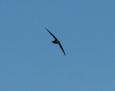 Vencejo moro (Apus affinis)