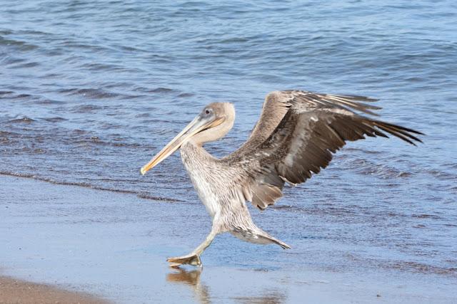Floreana Pelican
