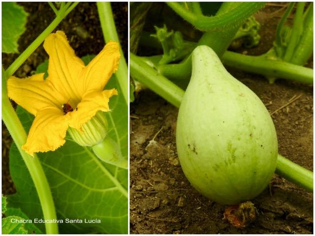 Flor y fruto de la planta de mate - Chacra Educativa St Lucía