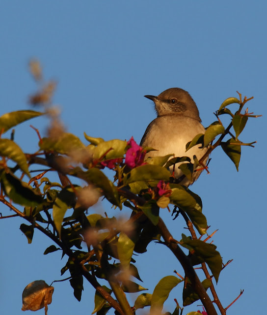 Northern Mockingbird in bougainvillea
