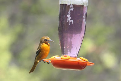 oriole at oriole feeder (2015)