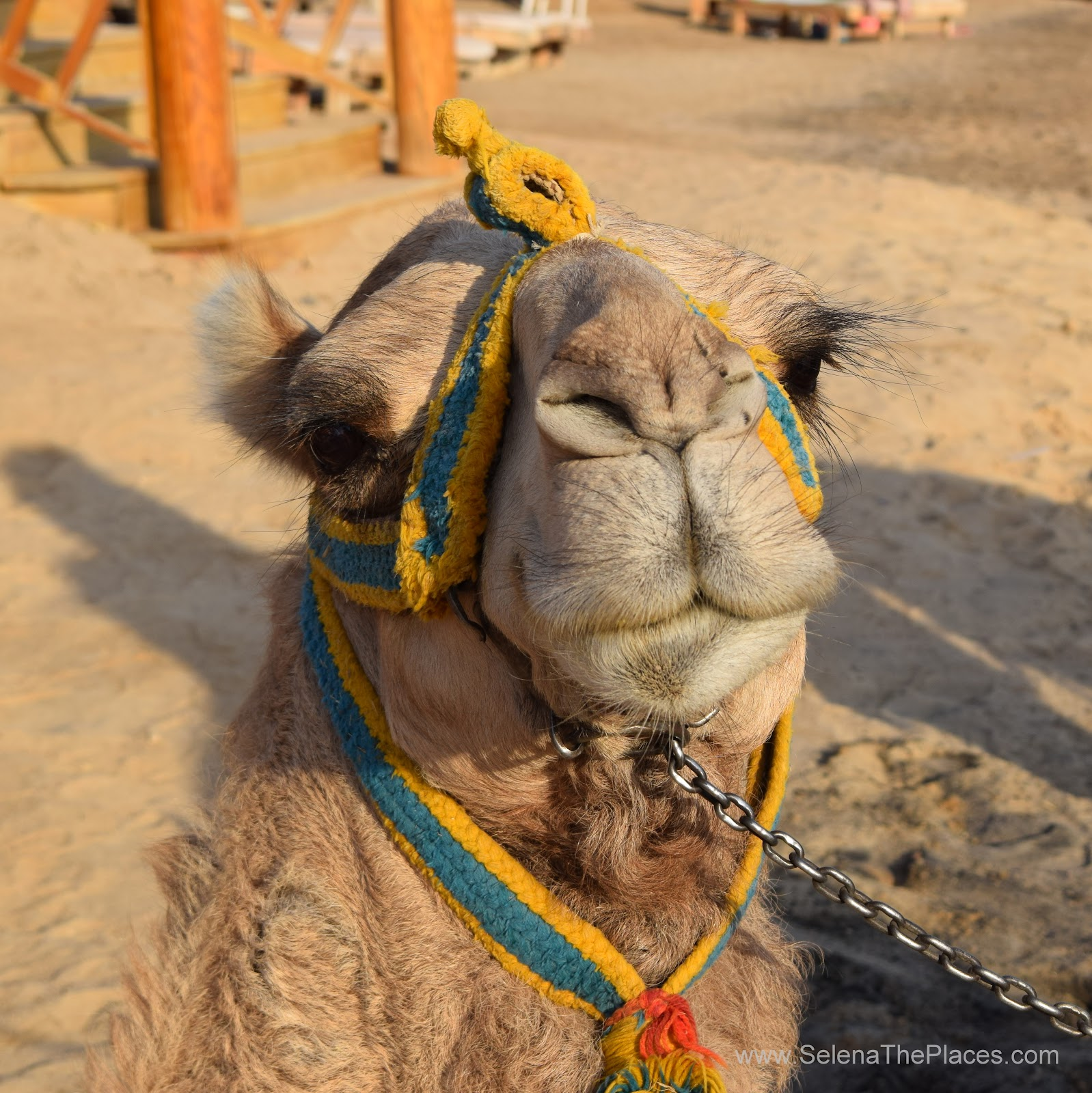Casanova the Camel, Hurghada Egypt