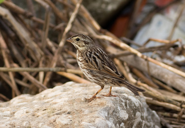 Savannah Sparrow - St John's River, Florida