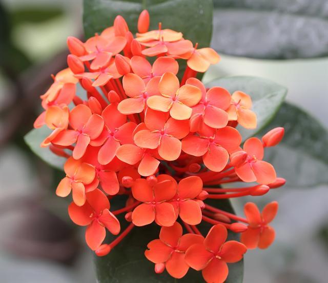 hortensia de china / ixora | flore de l'île de la réunion
