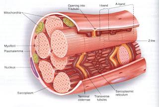 Bagian-bagian otot